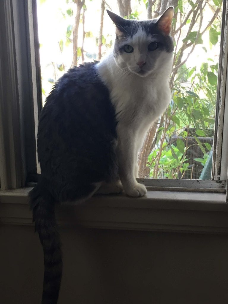 White and gray cat sits on window sill as he stares at the camera